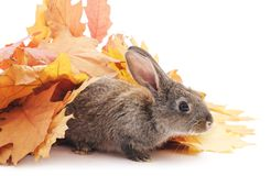 Gray rabbits and yellow leaves. Grey rabbits and yellow leaves on a white background Royalty Free Stock Photography