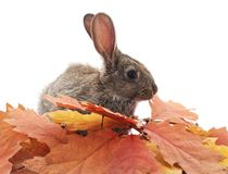 Gray rabbits and yellow leaves. Grey rabbits and yellow leaves on a white background Stock Images