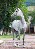 Gray racing  arabian horse Stock Photos