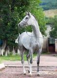 Gray racing  arabian horse Stock Photos