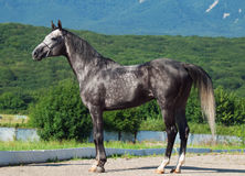 Gray  racing arabian  stallion Stock Images