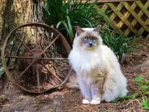 Gray Ragdoll Cat Royalty Free Stock Images