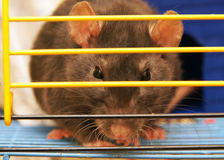 Gray rat. In a cage close up Stock Photo