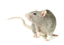 Gray Rat Royalty Free Stock Images