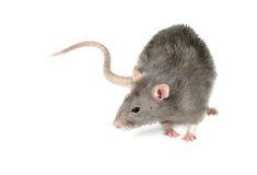 Gray Rat Stock Image