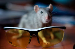 Gray rat on a background of cycling glasses Royalty Free Stock Photo