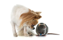 Gray rat and chihuahua Stock Photo
