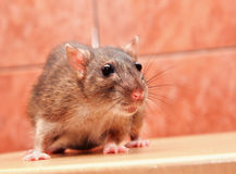 Gray rat closeup Royalty Free Stock Images