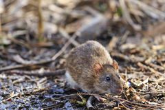 Gray rat with cute muzzle of rubbish. Wildlife Stock Photo