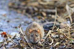 Gray rat with cute muzzle. Wildlife Royalty Free Stock Images