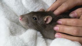 Gray rat in female hands. Close-up of person holding beautiful cute gray rat in arms and scratching it stock footage