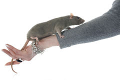 Gray rat Royalty Free Stock Photo