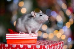 Gray rat with gifts on the background of the Christmas tree. In the lights, the symbol of the new year royalty free stock image