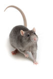 Gray rat isolated on white background Royalty Free Stock Photography