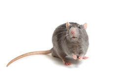 Gray rat isolated on white background Royalty Free Stock Photo