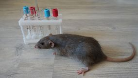 Gray rat with laboratory test tubes stock photos