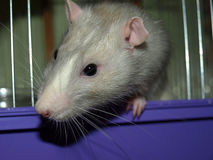 Gray rat royalty free stock photography