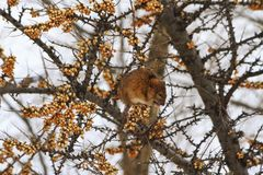 Gray rat sits on sea buckthorn. Winter, animals Royalty Free Stock Images