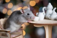 Gray rat symbol of the new year. On the background of lights, The rat is sitting at a table with a tea set royalty free stock image