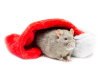 Gray Rat Under Christmas Stocking. Gray colored fancy rat sitting under a white and red Christmas stocking and looking off to the side Stock Photos