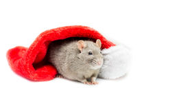 Gray Rat Under Christmas Stocking - linke Seite lizenzfreies stockbild