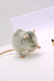 The gray rat Stock Photos