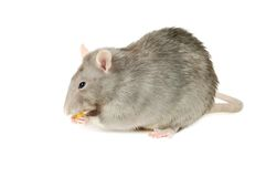Gray Rat Stock Photography