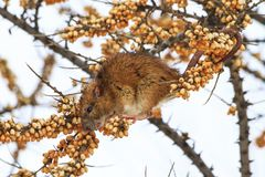 Gray rat in the winter eats berries of sea buckthorn. Winter, animals Royalty Free Stock Images