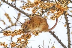 Gray rat in the winter sits on the branch and eats the sea buckthorn. Winter, animals Royalty Free Stock Images