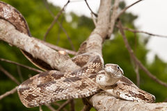 Gray Ratsnake Stock Photography