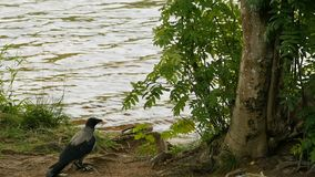 Gray raven stands by the river. Looking carefully stock footage
