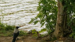 Gray raven by the river. Gray raven  walks by the river stock footage