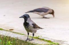 Gray ravens, crows. Close view. Stock Photos