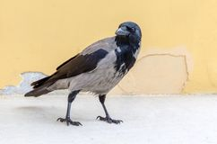 Gray ravens, crows. Close view. Royalty Free Stock Images