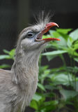 Gray Red Legged Seriema Bird with Delicate Feathers Royalty Free Stock Images