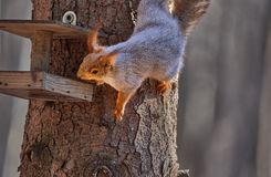 Gray-red squirrel sits in the trough and eats seeds stock images