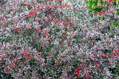 Gray red texture of small branches and leaves of ornamental plants Stock Photography