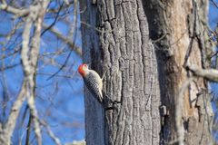 Gray and Red Woodpecker Royalty Free Stock Photos