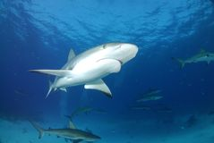 Gray reef shark. Swimming on reef stock photos