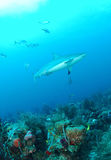 Gray reef shark. Swimming over coral reef in blue tropical sea Royalty Free Stock Images