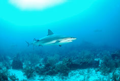Gray reef shark Royalty Free Stock Photo