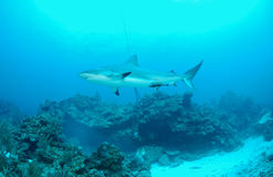 Gray reef shark. Side underwater view of grey reef shark swimming in blue sea over coral reef Stock Image