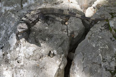 Gray reptile or lizard on rocks with large tail Stock Image