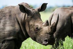Gray Rhino in Macro Photography Royalty Free Stock Image
