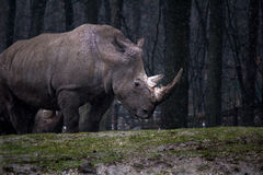 Gray Rhinoceros on Green Forest Royalty Free Stock Image