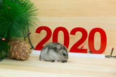 Gray rodent hamster near the New Year tree. Gray mouse eating seeds on a wooden background near the Christmas tree, the symbol of 2020 stock photo