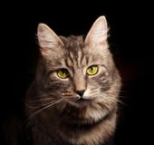 Gray russian cat. On black background royalty free stock photos