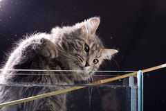 Gray russian cat. On black background stock photos