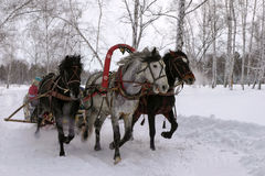 Gray russian troika. white horses. Three horses pulling a sleigh in winter Royalty Free Stock Images