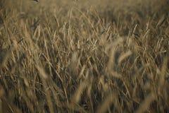 Gray rye field. Closeup of rye field background detail kamut stock image